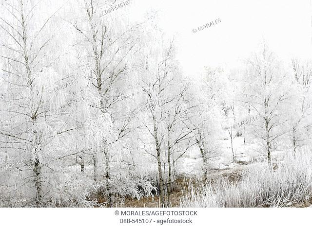 Willows. Gerstheim. Bas-Rhin. Alsace. France