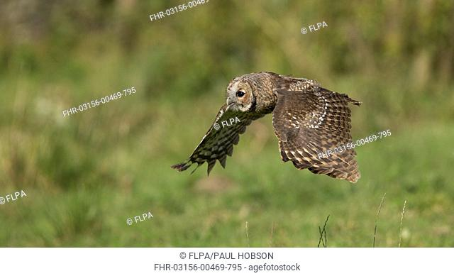 Tawny Owl (Strix aluco) juvenile, in flight, South Yorkshire, England, August