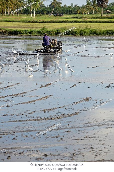 Farmer ride rice tractor for preparing the ground for rice plantation, Southern Thailand