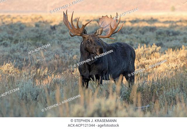 Bull Shiras Moose (Alces alces sherasi), standing in autumn scrubland at Grand Teton National Park, Wyoming