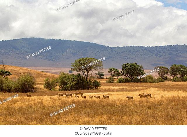 Landscape with lion pride (panthera leo), Ngorongoro Crater, Ngorongoro Conservation Area, Tanzania