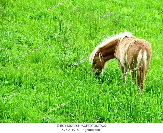 Miniature horse in field