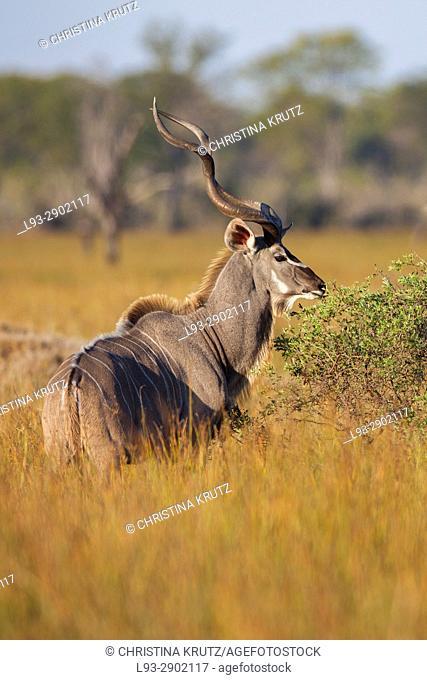 Greater Kudu (Tragelaphus strepsiceros). Okavango Delta, Botswana, Africa