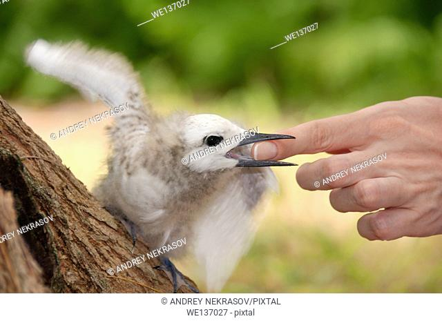 Fairy, White Tern Bird or holy ghost bird (Gygis alba) baby biting a woman's finger, Denis island, Seychelles