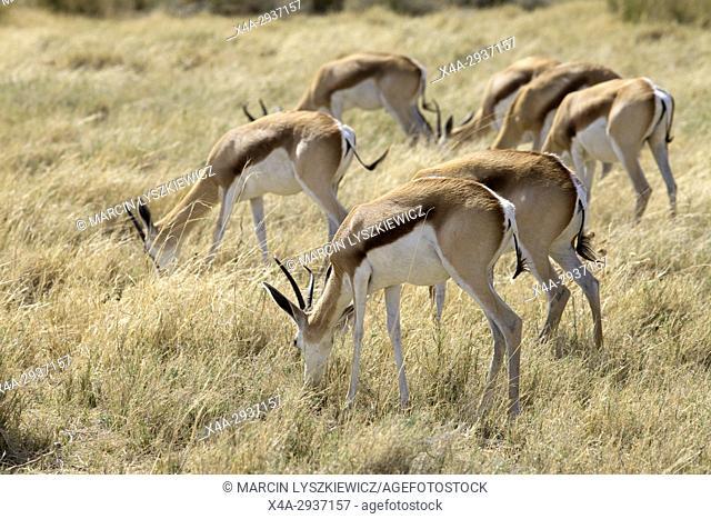 Herd of grazing springboks (Antidorcas marsupialis), Etosha National Park, Namibia