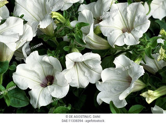 Surfinia Petunia (Petunia x hybrida Surfinia), Solanaceae