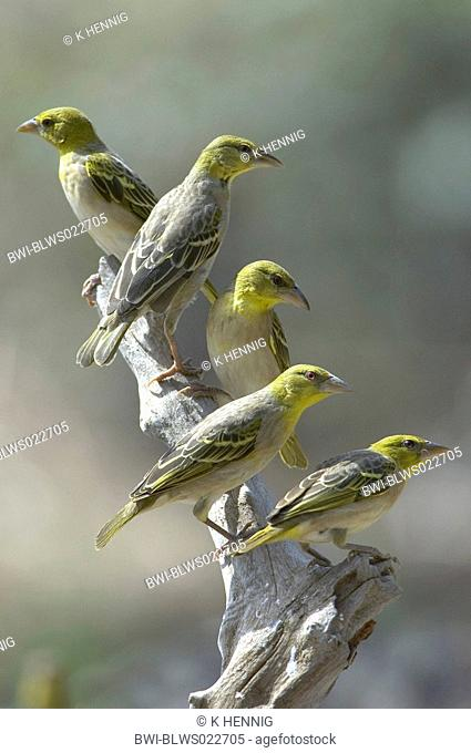Village weaver, Spotted-backed weaver Ploceus cucullatus, Textor cucullatus, group on post, Senegal, Casamance