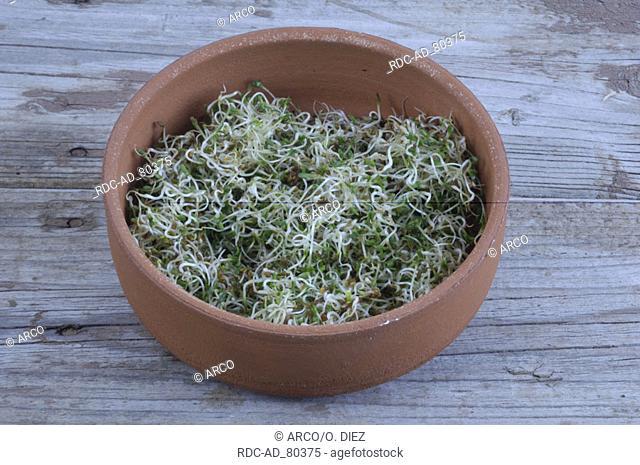 Alfalfa fresh sprouts in bowl Medicago sativa