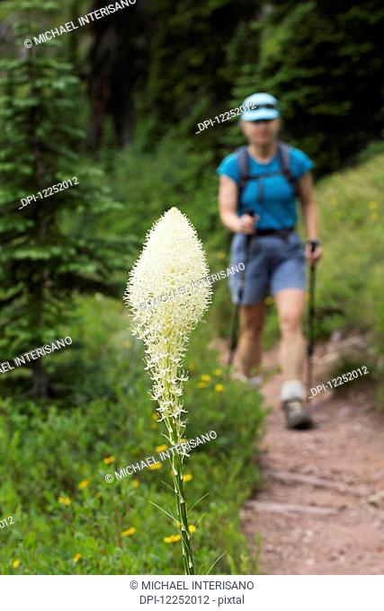 Close up of flowering bear grass with a female hiker with poles in the background on the trail; Waterton, Alberta, Canada