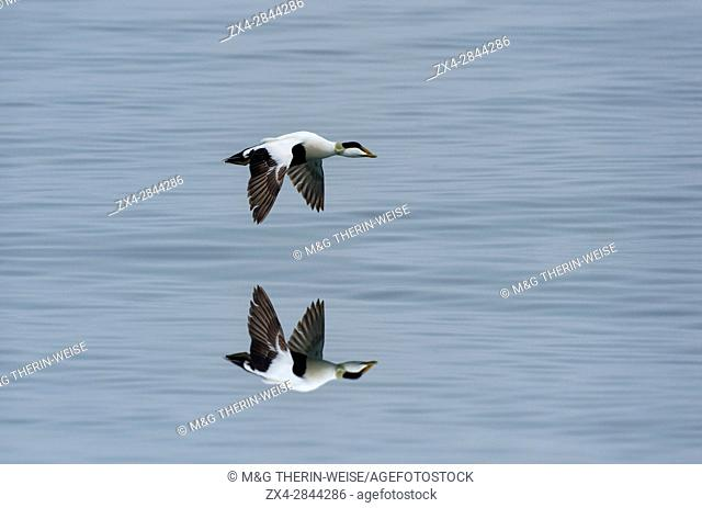 Common Eider (Somateria mollissima) in flight and reflecting in water, Longyearbyen, Spitsbergen Island, Svalbard Archipelago, Norway