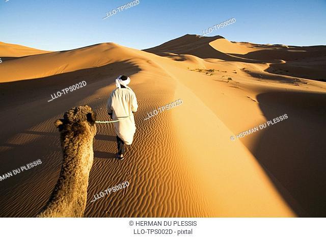 Berber Man Leading his Dromedary Camel Camelus dromedarius as Viewed from a Camels Back  Merzouga, Erg Chebbi, Sahara Desert, Morocco, North Africa