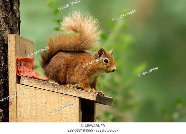 Red Squirrel sitting on a feeding box