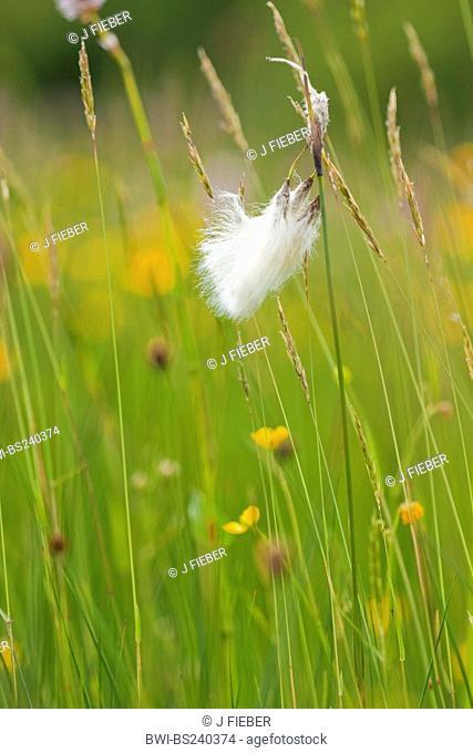 common cotton-grass, narrow-leaved cotton-grass Eriophorum angustifolium, fruiting in a swamp meadow, Germany, North Rhine-Westphalia