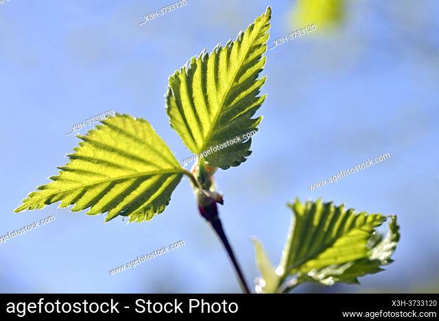 Young leaves of birch tree, Eure-et-Loir department, Centre-Val-de-Loire region, France, Europe