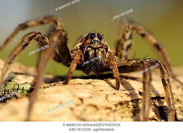 European Wolf Spider or False Tarantula Hogna radiata