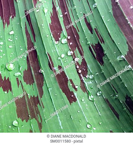 Raindrops on a banana plant leaf