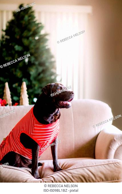 Pet dog in t-shirt on sofa, Christmas tree in background