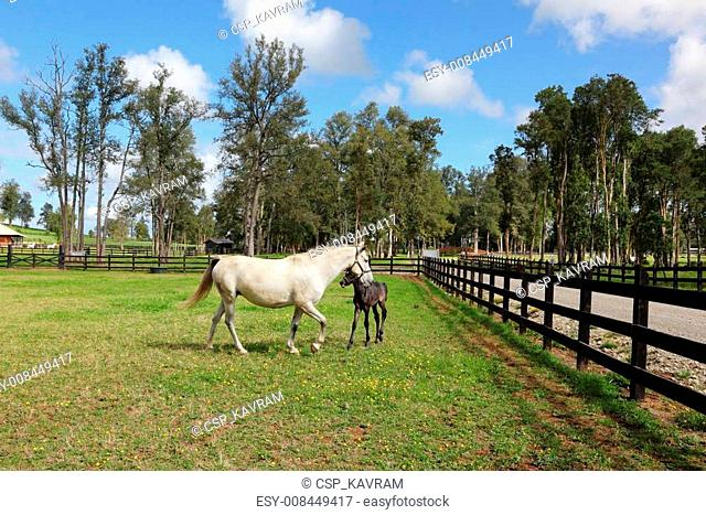 The white horse with the colt