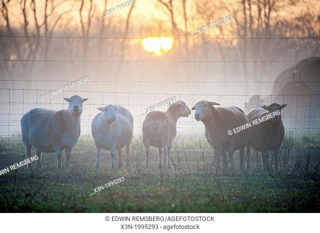 Katahdin Sheep at sunrise on farm in Fallston, Maryland USA