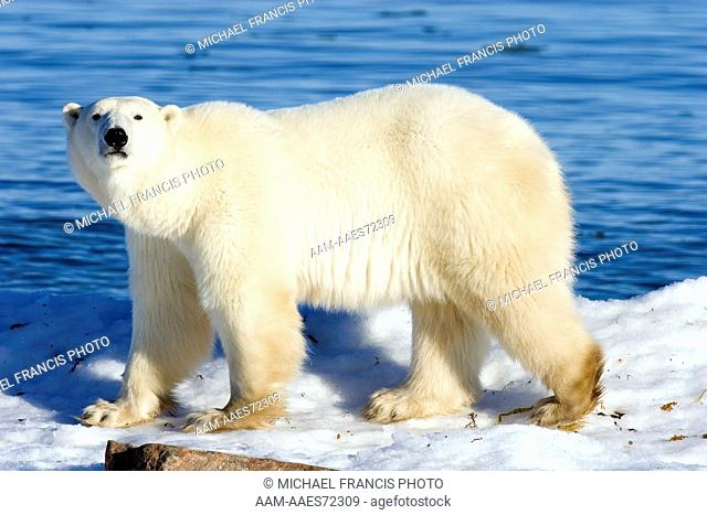 Polar Bear (Ursus maritimus) male, Churchill, Manitoba, Canada
