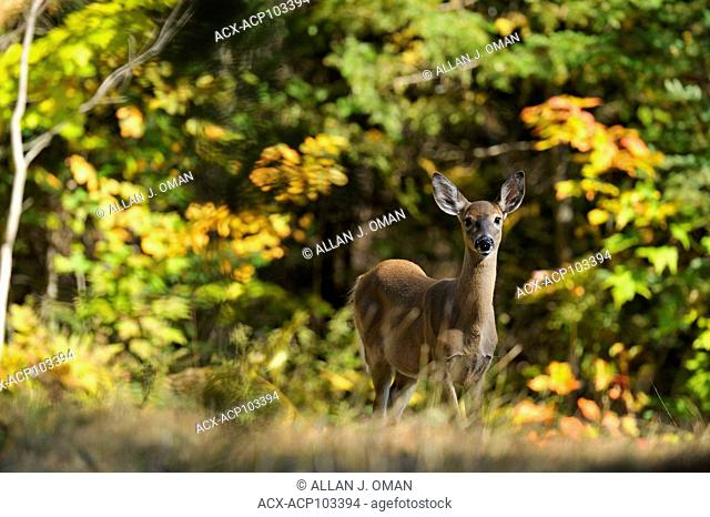 Deer surrounded by fall colours, Ontario, Canada