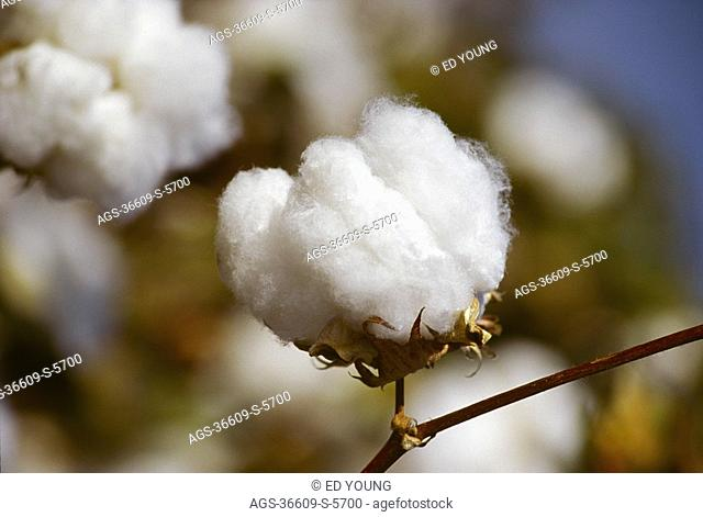 Agriculture - Cotton boll close-up, near harvest / San Joaquin Valley, California, USA