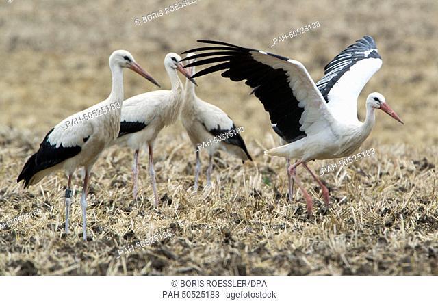 White storcks near Biebesheim am Rhein, Germany, 25 July 2014. The living storck colony steadily grew in the last years. Photo: Boris Roessler/dpa | usage...