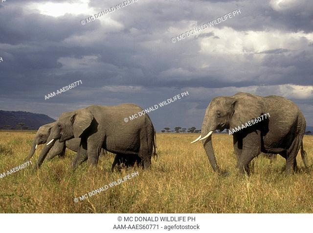 African Elephants (Loxodonta africana), in grassland, Masai Mara, Kenya