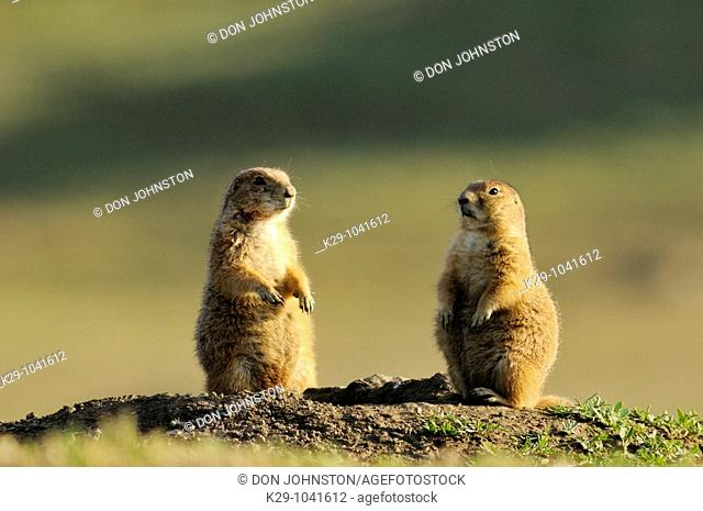 Black tailed prairie dog Cynomys ludovicianus Alert at burrow