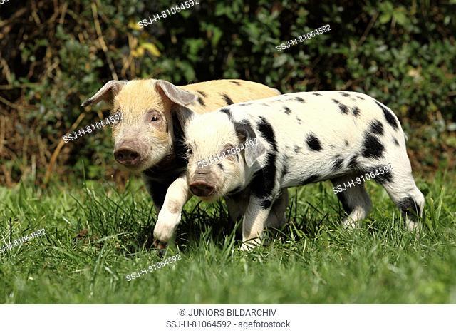 Domestic Pig, Turopolje x ?. Two piglets (3 weeks old) walking on a meadow. Germany