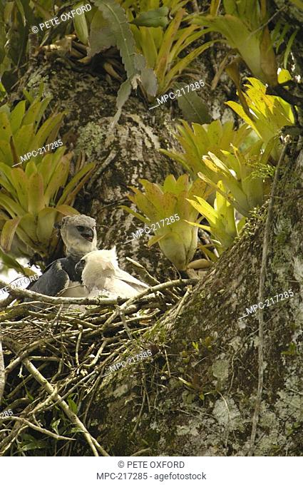 Harpy Eagle Harpia harpyja, father with five month old chick on nest in Kapok or Ceibo tree Ceiba trichistandra, Aguarico River drainage, Amazon rainforest