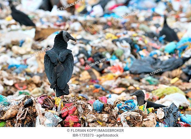 Vultures at Lixao dump in the satellite city of Estrutural near Brasilia, Distrito Federal, Brazil, South America
