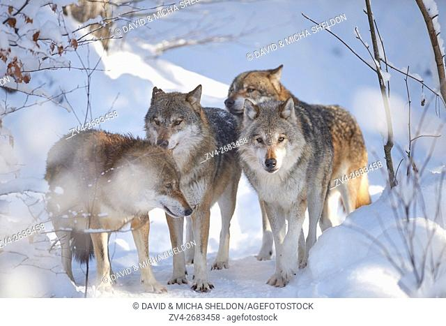 A pack of Eurasian wolves (Canis lupus lupus) in a snowy winter