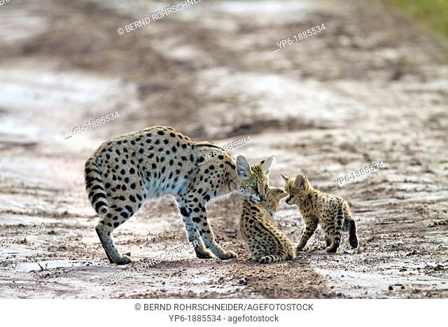Serval Leptailurus serval with cubs, Serengeti National Park, Tanzania