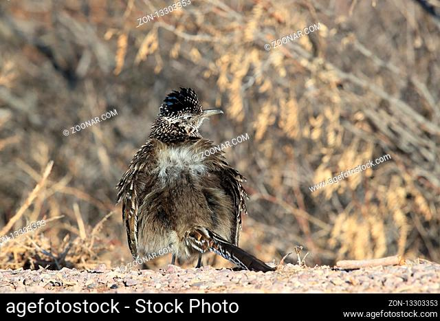 Roadrunner Bosque del Apache wildlife refuge in New Mexico, USA