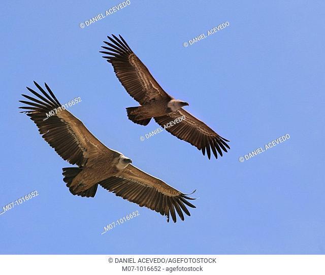 Common vultures in flight (Gyps fulvus) gyps fulvus