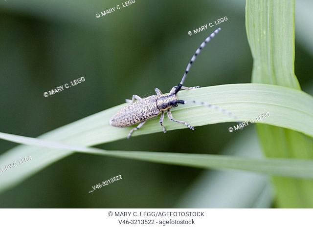 Golden-bloomed Grey Longhorn, Agapanthia villosoviridescens, medium sized Longhorn beetle that is gold-black color with median stripe on head and pronotum