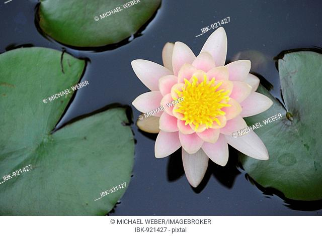 European White Waterlily, White Lotus or Nenuphar (Nymphaea alba) and waterlily leaves