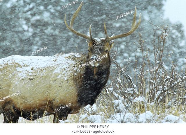 American Elk Cervus Elaphus Nelsoni, Rocky Mountain National Park, Colorado