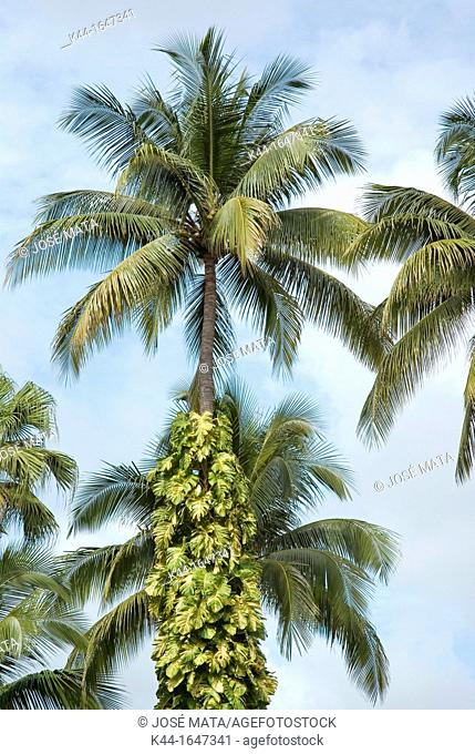 Palm tree with coconuts, Southern Coast, Guatemala