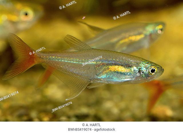 Glass bloodfin, Redfin glass-Tetra (Prionobrama filigera), swimming