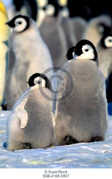 ANTARCTICA, ATKA ICEPORT, EMPEROR PENGUIN COLONY, CHICKS