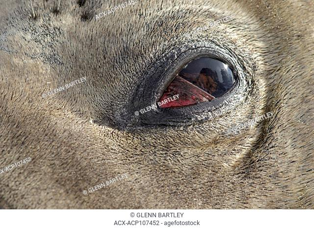 Close up of Elephant Seal eye ball South Georgia Island