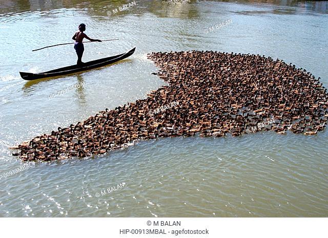 DUCKS MOVING ACROSS CANAL IN KUTTANAD BACKWATERS