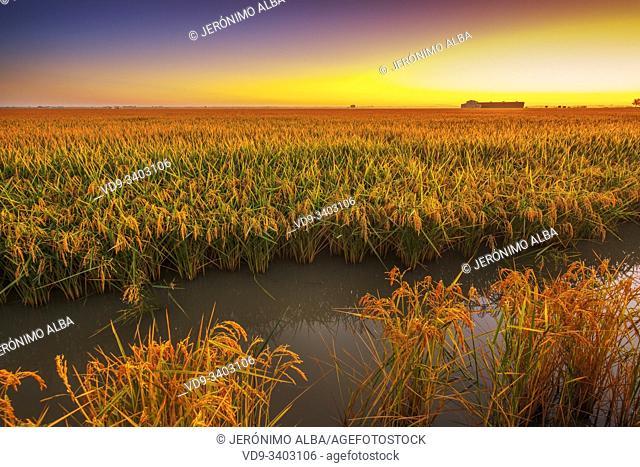 Rice fields in the Guadalquivir river delta at dawn near Los Palacios y Villafranca, Sevilla province. Southern Andalusia, Spain. Europe