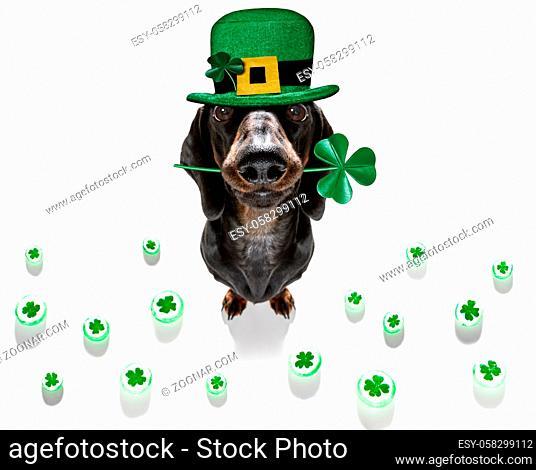 st patricks day dachshund sausage dog with lucky clover isolated on black dark dramtic background