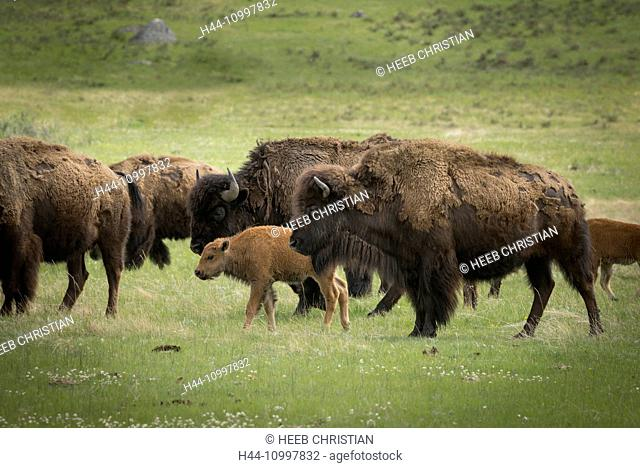 USA, Rocky Mountains, Wyoming, Yellowstone, National Park, UNESCO, World Heritage, Bison herd