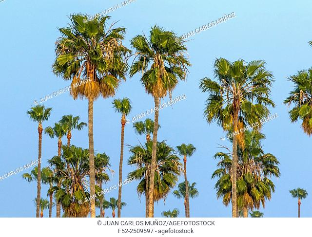 Palm Tree, California, USA