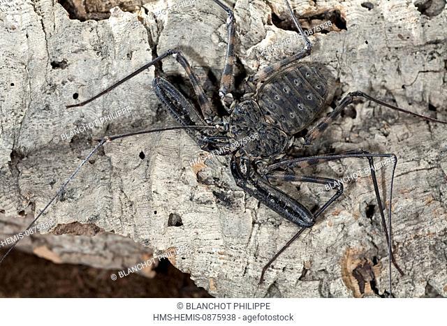 Togo, Arachnida, Amblypygi, Phrynichidae, (Damon medius)