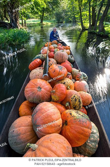 The farmer Harald Wenske travels on a barge full of pumpkins near the Spreewald village of Lehde, Germany, 23 September 2014. Autumn is pumpkin season
